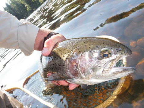 Rainbow Trout Guided Fish