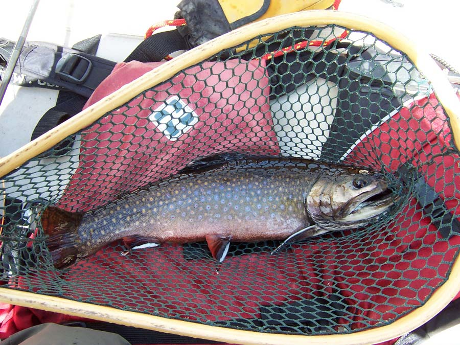 Rainbow trout in net catch and release